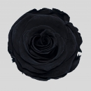 STABILIZZATE - ROSE BLACK BEAUTY